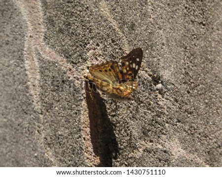 Brown, Black, Orange, Taupe Hackberry Emperor Butterfly on Concrete Stone Wall with Shadow Warming Wings in Sun During Spring or Summer in Midwest Ohio in Park or Garden in Nature Outdoors #1430751110