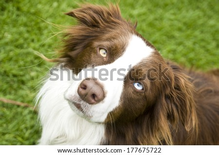 Brown Border Collie - stock photo