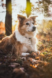 Brown border Collie dog breed in the park in autumn in fallen leaves, autumn concept with background light