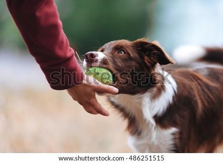 brown border collie puppy...