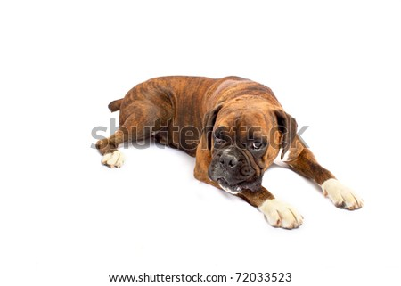 Brown Boxer at rest