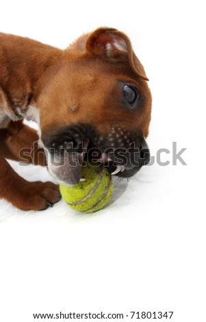 Brown boxer puppy chewing small green ball 2 - stock photo