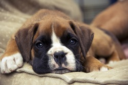 Brown Boxer puppy lying on the ground