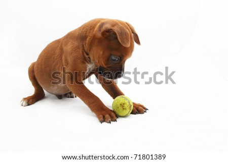 Brown Boxer puppy staring at small green ball 3