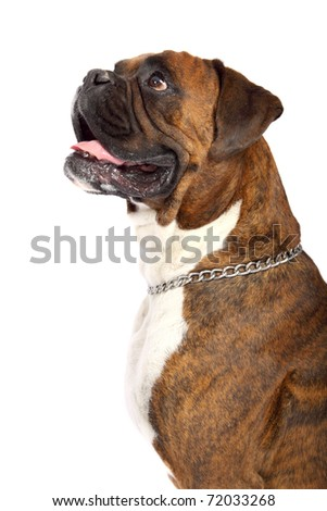 Brown Boxer with white chest looking left with drool