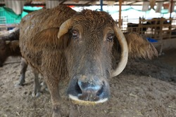 Brown buffalo cry