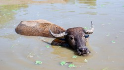 Brown buffalo play water in the pond
