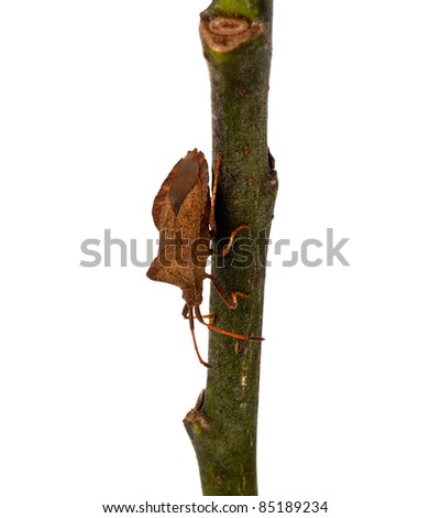 Brown bug on a twig against a white background