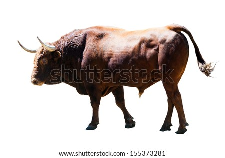 Brown bull, isolated over white background