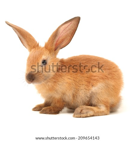 brown bunny rabbits isolated on white background #209654143