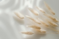 Brown bunny tail grass on grey background, copy space, dried lagurus grass