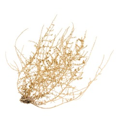 Brown Bush of Crusty Dry Tumbleweed on White Background