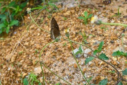 Brown Butterfly Sitting On A Little Vines Flower Tree. Looking Cuteness. Blured Soil Background Looking Different.