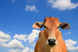 Brown calf Cow against Blue Sky Looking at camera