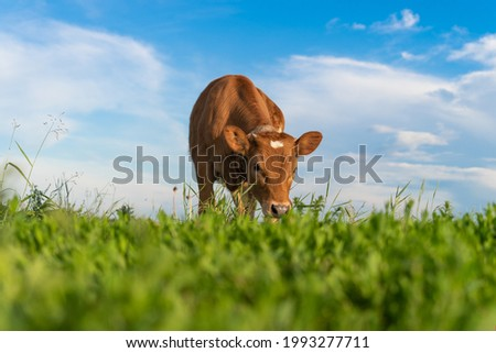 brown calf eating green grass, under the blue sky Foto d'archivio ©