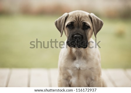 Brown cane corso dog puppy