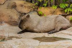 Brown Capybara sleeping in the zoo