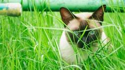 Brown cat playing in the grass.