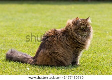 brown cat sitting in a garden, purebred siberian feline. Hypoallergenic animal of livestock #1477450760