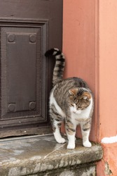 Brown cat with white breast stands on stone step against the background of a brown wooden door and orange wall