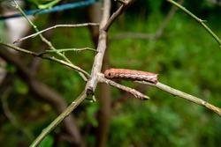 Brown caterpillar crawling on the green branch. Close up of beautiful caterpillar on nature bokeh background.