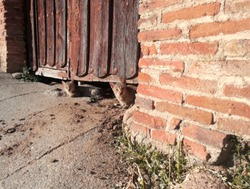 Brown cats. Cute kittens. Animals resting under the wooden door. Central part of an old wooden door of an agricultural village in the middle of Spain. Ancient forges. Rusted iron. Antique.