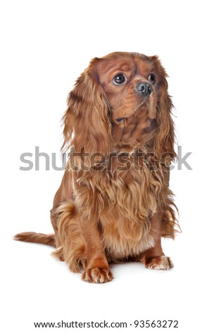 Brown Cavalier King Charles Spaniel in front of a white background