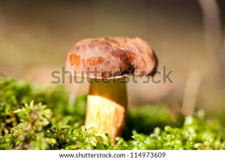 Brown cep mushroom in green moss in autumn