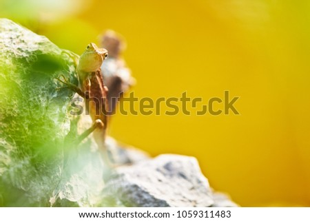 Brown chameleon in nature with yellow background #1059311483