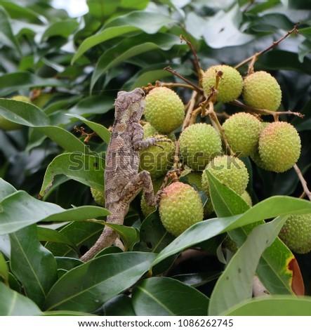 brown chameleon  on green Litchi fruit  #1086262745