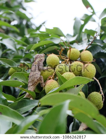 brown chameleon  on green Litchi fruit  #1086262817