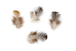 Brown chicken feather flat lay isolated on white background. Fluffy feather from pillow or cover blanket. Soft feathery isolated. Goose down filling for winter clothes. Warm clothing natural fill