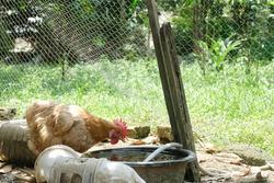 Brown chicken hen drinking water in the container. Betong chicken.