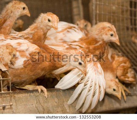Brown chickens in a cage. Poultry farm