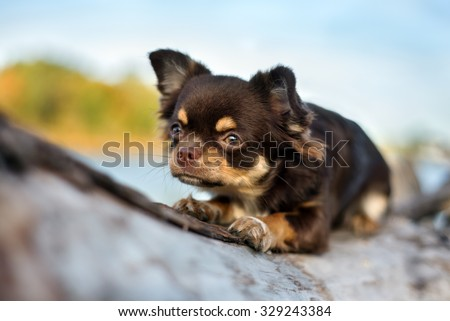 brown chihuahua dog lying down outdoors