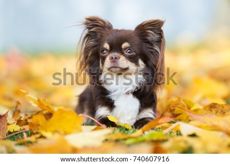 brown chihuahua dog posing in fallen leaves #740607916