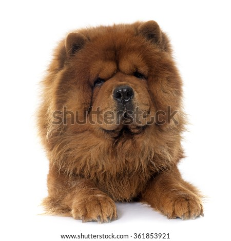 brown chow dog in front of white background #361853921