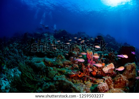 Brown chromis swimming over the reef #1259503237