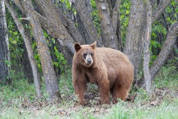 Brown cinnamon black bear standing in front of a clump of trees