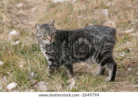 Brown classic tabby manx cat outdoors