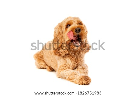 brown cockapoo dog in front of a white background Photo stock ©