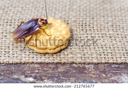 Brown Cockroach on a Piece of Cookie #212765677