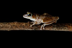 Brown common tree frog Asia Amphibians climbing branches at night with its large eyes for nocturnal hunting and unique climbing skills