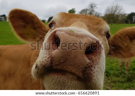 Brown Cow #656620891
