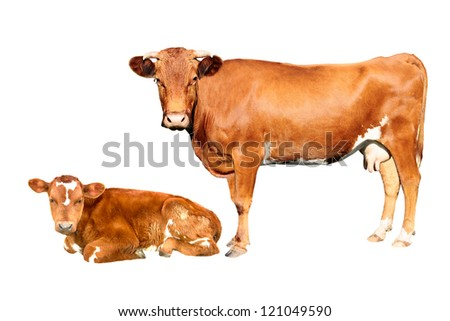 brown cow and calf  isolated on white background