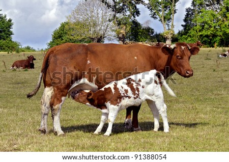 Brown cow and calf suckling in a prairie, department of the Sarthe in France