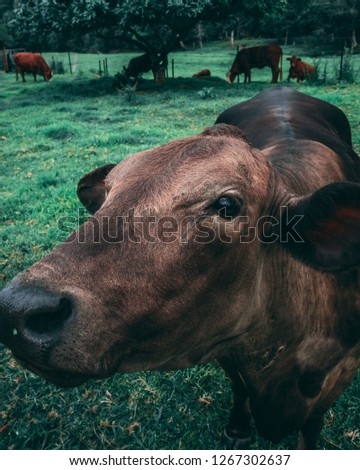 Brown Cow behind a fence, on a piece of farmland adjacent to a country road in the Currumbin Valley of Australia #1267302637