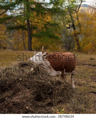 Brown cow eating hay in the forest
