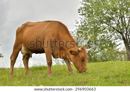 Brown cow grazing in fresh pastures