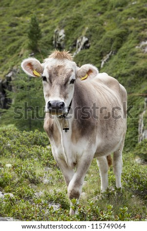 Brown cow grazing in highlands, Tyrol mountains, Austria.